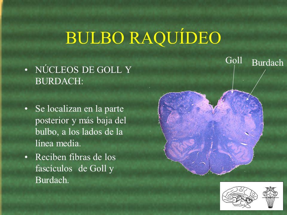 BULBO RAQUÍDEO NÚCLEOS DE GOLL Y BURDACH: Se localizan en la parte posterior y más baja del bulbo, a los lados de la línea media. Reciben fibras de lo