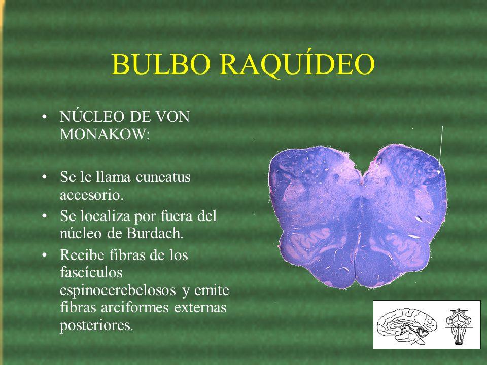 BULBO RAQUÍDEO NÚCLEO DE VON MONAKOW: Se le llama cuneatus accesorio. Se localiza por fuera del núcleo de Burdach. Recibe fibras de los fascículos esp
