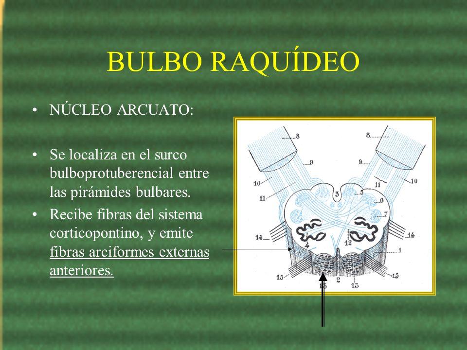 BULBO RAQUÍDEO NÚCLEO ARCUATO: Se localiza en el surco bulboprotuberencial entre las pirámides bulbares. Recibe fibras del sistema corticopontino, y e