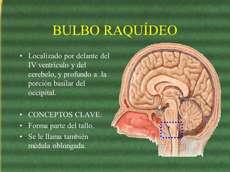 BULBO RAQUÍDEO Localizado por delante del IV ventrículo y del cerebelo, y profundo a la porción basilar del occipital. CONCEPTOS CLAVE: Forma parte de
