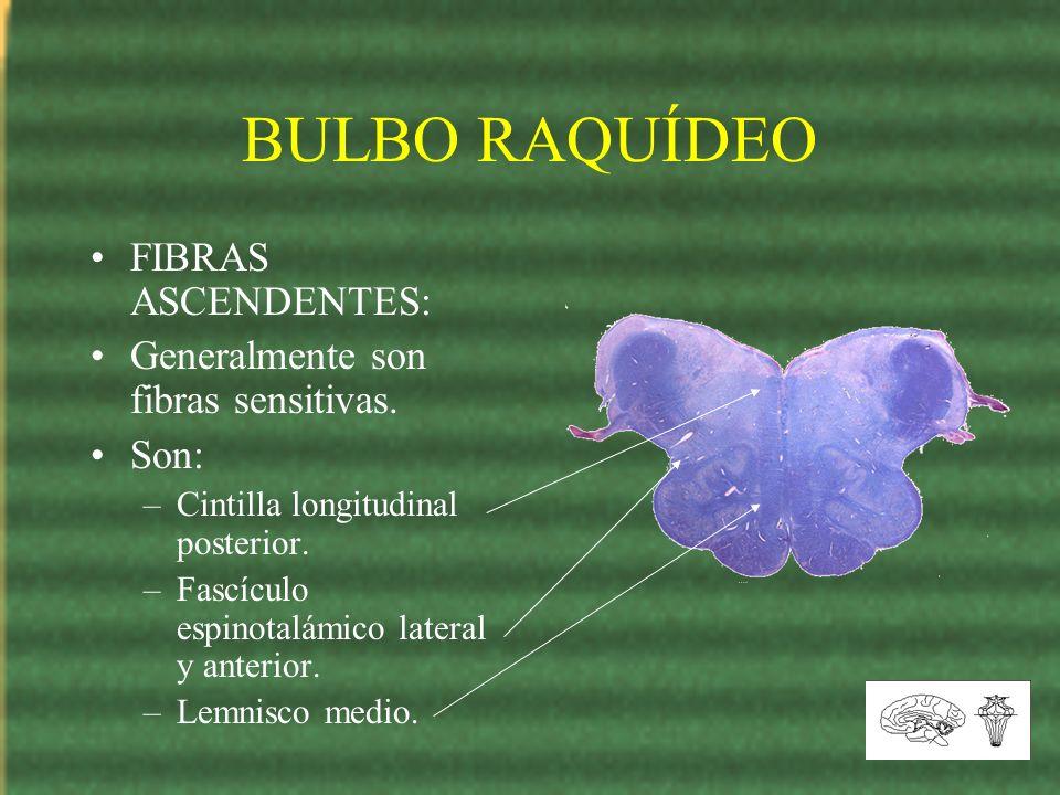 BULBO RAQUÍDEO FIBRAS ASCENDENTES: Generalmente son fibras sensitivas. Son: –Cintilla longitudinal posterior. –Fascículo espinotalámico lateral y ante
