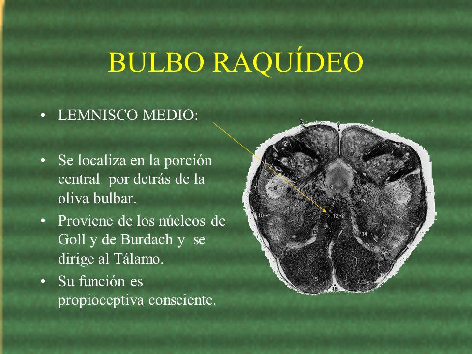 BULBO RAQUÍDEO LEMNISCO MEDIO: Se localiza en la porción central por detrás de la oliva bulbar. Proviene de los núcleos de Goll y de Burdach y se diri