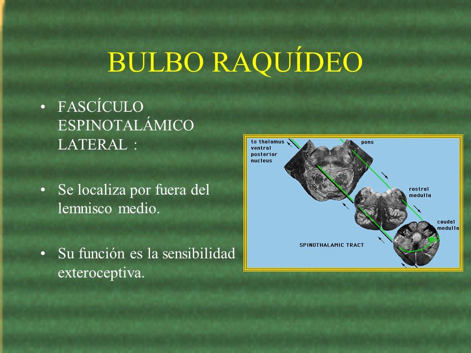BULBO RAQUÍDEO FASCÍCULO ESPINOTALÁMICO LATERAL : Se localiza por fuera del lemnisco medio. Su función es la sensibilidad exteroceptiva.