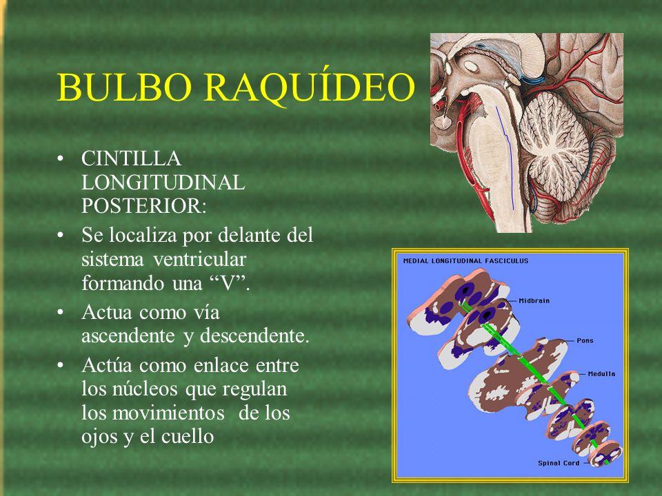 BULBO RAQUÍDEO CINTILLA LONGITUDINAL POSTERIOR: Se localiza por delante del sistema ventricular formando una V. Actua como vía ascendente y descendent