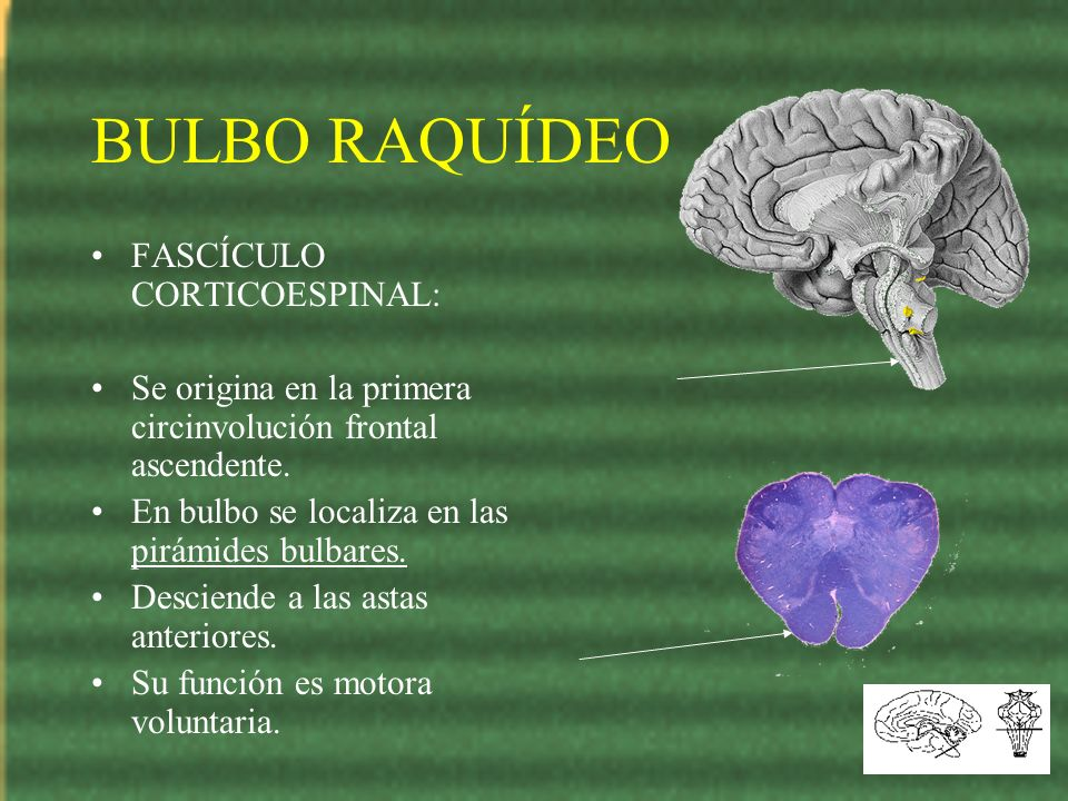 BULBO RAQUÍDEO FASCÍCULO CORTICOESPINAL: Se origina en la primera circinvolución frontal ascendente. En bulbo se localiza en las pirámides bulbares. D