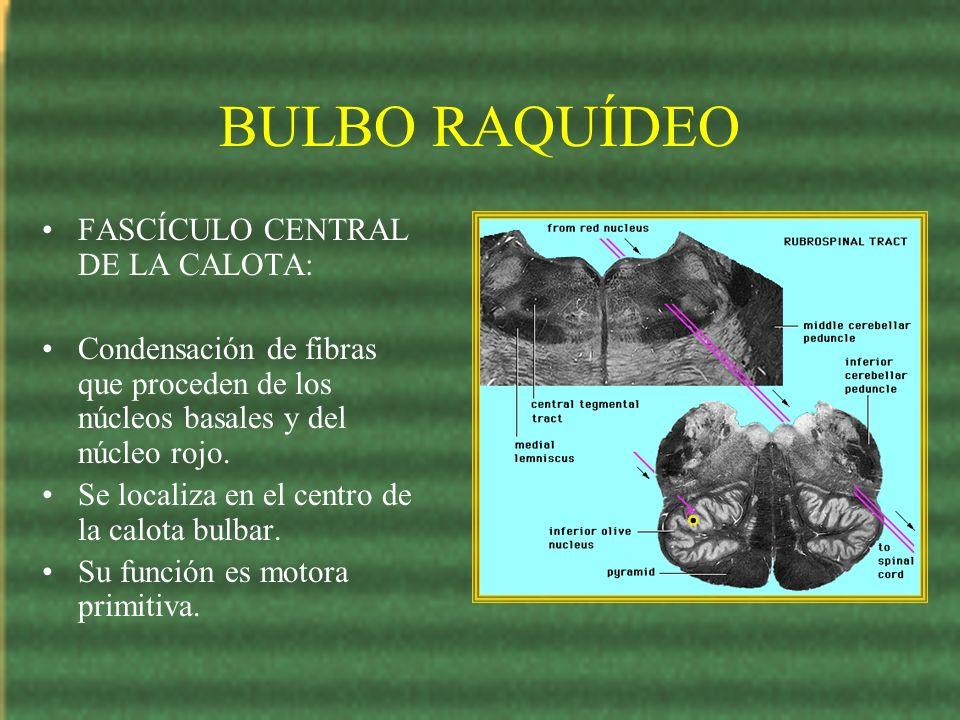 BULBO RAQUÍDEO FASCÍCULO CENTRAL DE LA CALOTA: Condensación de fibras que proceden de los núcleos basales y del núcleo rojo. Se localiza en el centro