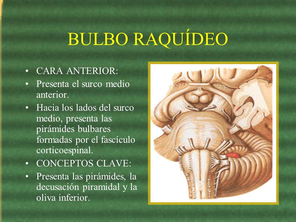 BULBO RAQUÍDEO CARA ANTERIOR: Presenta el surco medio anterior. Hacia los lados del surco medio, presenta las pirámides bulbares formadas por el fascí