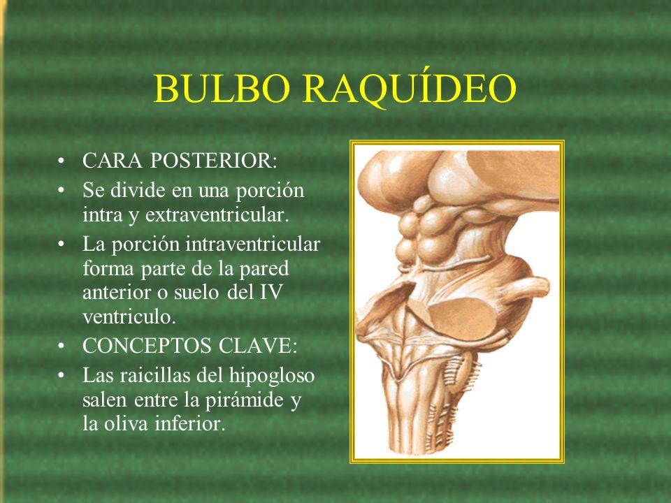 BULBO RAQUÍDEO CARA POSTERIOR: Se divide en una porción intra y extraventricular. La porción intraventricular forma parte de la pared anterior o suelo