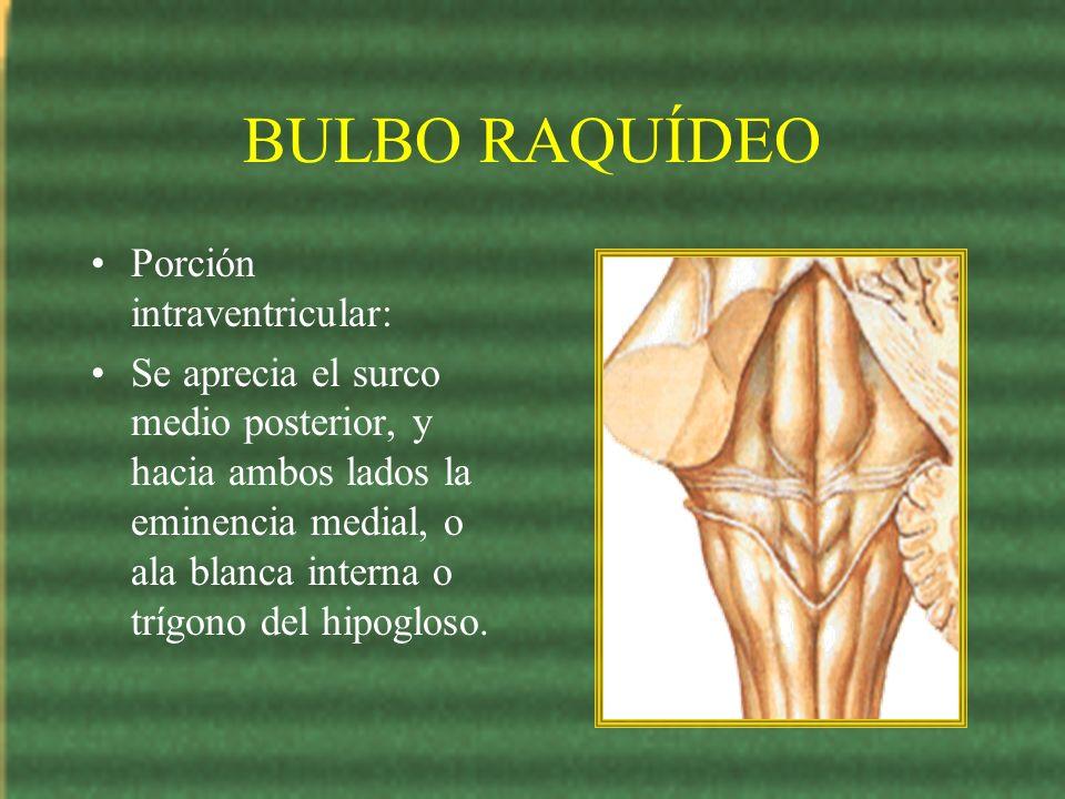 BULBO RAQUÍDEO Porción intraventricular: Se aprecia el surco medio posterior, y hacia ambos lados la eminencia medial, o ala blanca interna o trígono