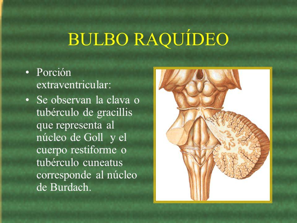 BULBO RAQUÍDEO Porción extraventricular: Se observan la clava o tubérculo de gracillis que representa al núcleo de Goll y el cuerpo restiforme o tubér