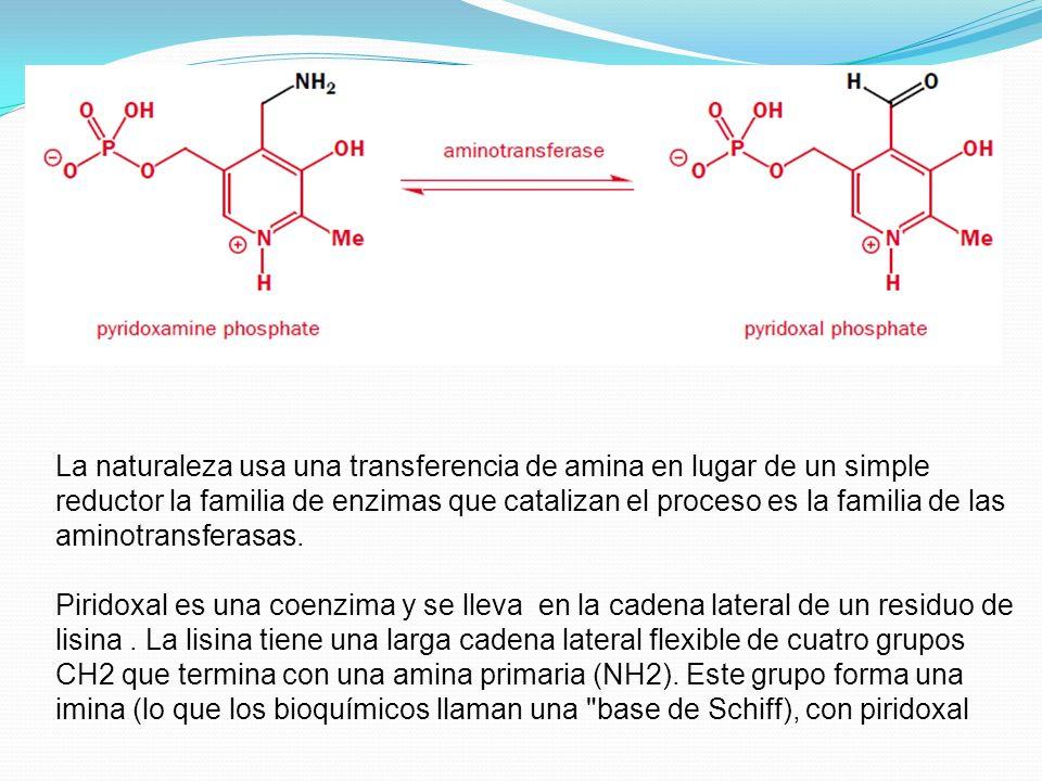 La naturaleza usa una transferencia de amina en lugar de un simple reductor la familia de enzimas que catalizan el proceso es la familia de las aminot