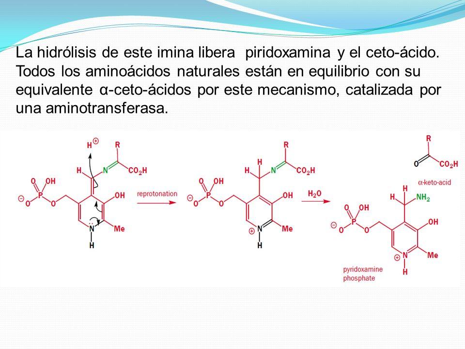 La hidrólisis de este imina libera piridoxamina y el ceto-ácido. Todos los aminoácidos naturales están en equilibrio con su equivalente α-ceto-ácidos