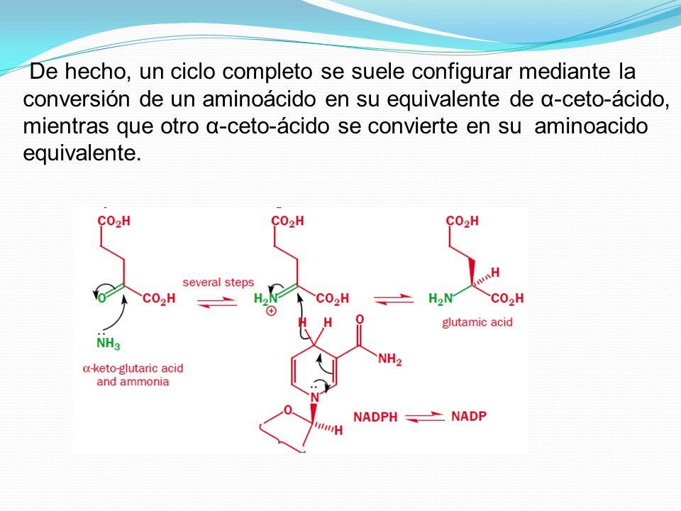 De hecho, un ciclo completo se suele configurar mediante la conversión de un aminoácido en su equivalente de α-ceto-ácido, mientras que otro α-ceto-ác