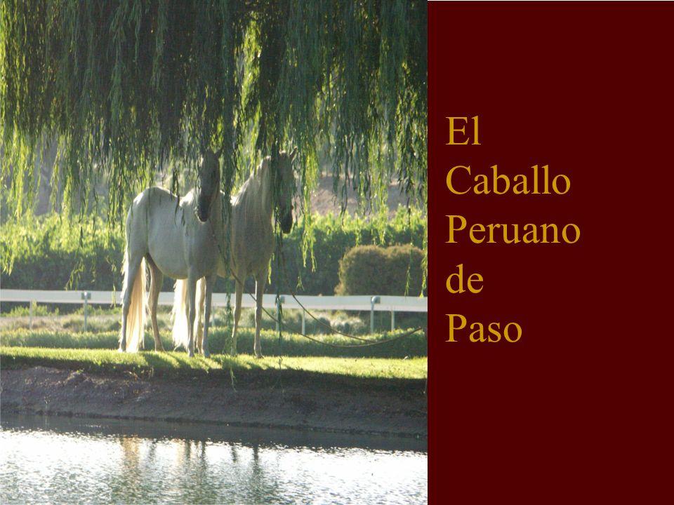 El caballo de paso E S P L É N D I D O