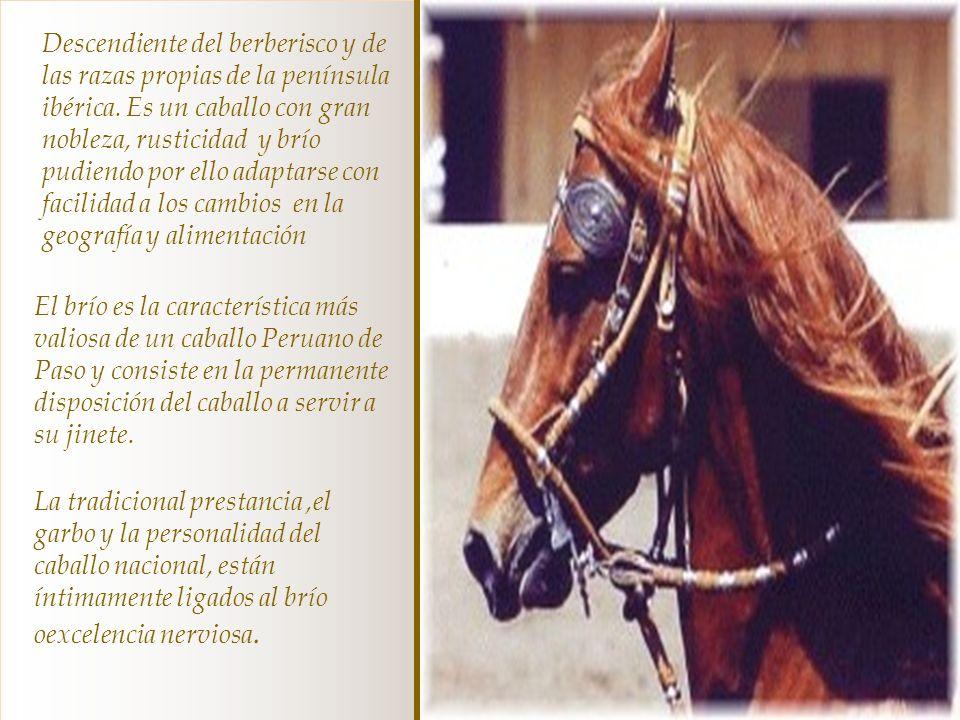 El caballo peruano de paso es un equino criollo de silla de tipo mediolineo de tradición viajera seleccionado por el costeño peruano para recorrer gra