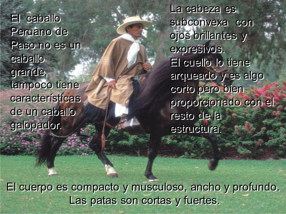 Los caballos Peruanos son ambladores teniendo un aire armonioso y rítmico en el que el animal mantiene un movimiento de hamaqueo alternativo lento y a
