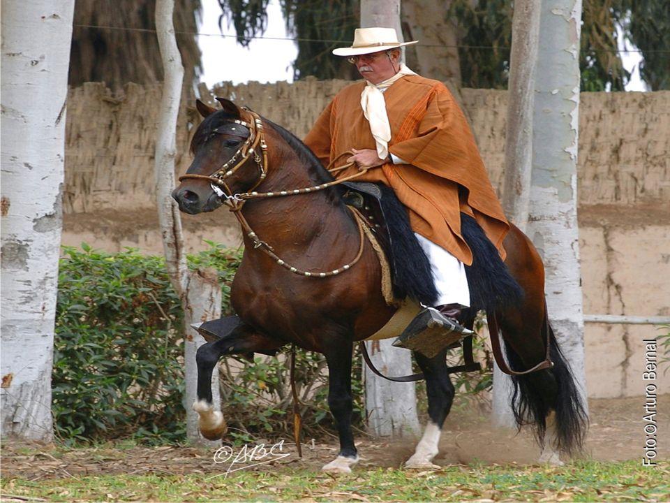 El caballo Peruano de Paso es calificado como el mejor caballo de silla del mundo, reconocido como el de andar más suave y con temple firme. El caball