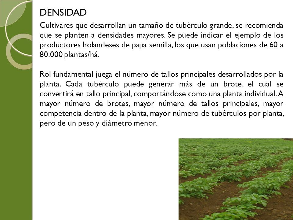 DENSIDAD Cultivares que desarrollan un tamaño de tubérculo grande, se recomienda que se planten a densidades mayores. Se puede indicar el ejemplo de l