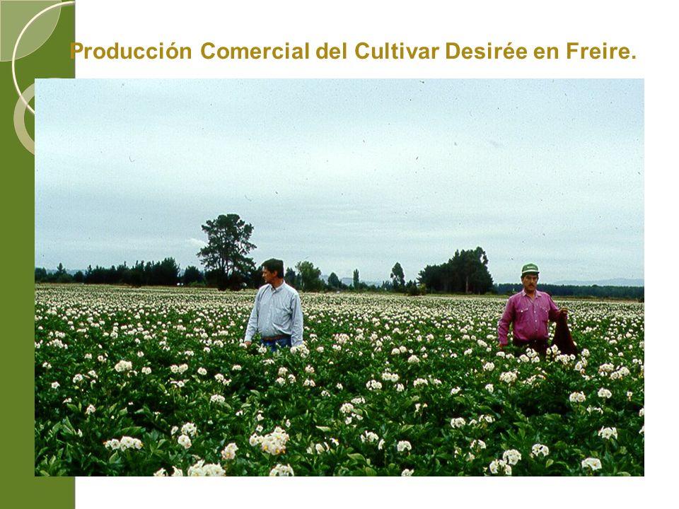 Producción Comercial del Cultivar Desirée en Freire.