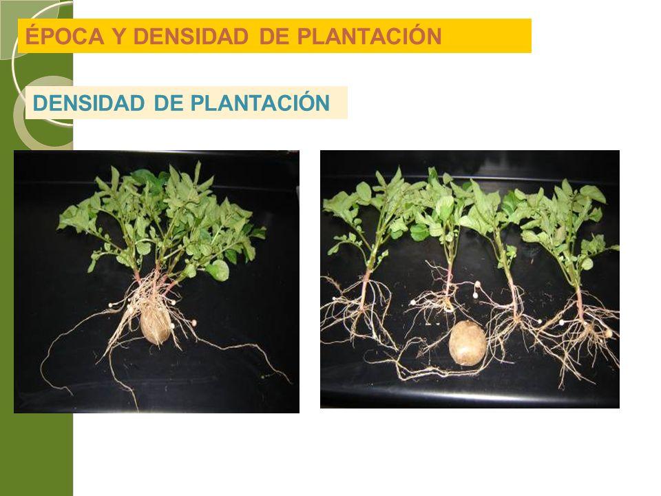 ÉPOCA Y DENSIDAD DE PLANTACIÓN DENSIDAD DE PLANTACIÓN