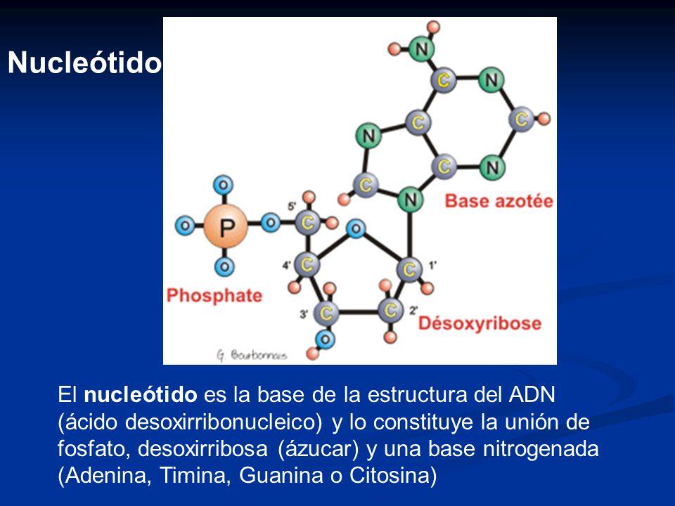 El nucleótido es la base de la estructura del ADN (ácido desoxirribonucleico) y lo constituye la unión de fosfato, desoxirribosa (ázucar) y una base nitrogenada (Adenina, Timina, Guanina o Citosina) Nucleótido
