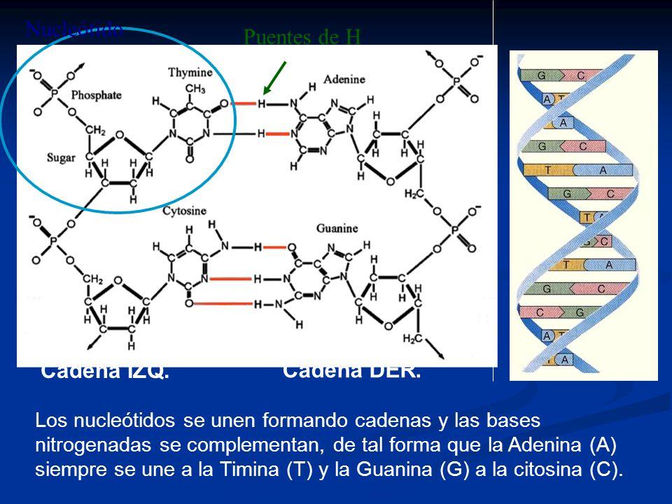 Los nucleótidos se unen formando cadenas y las bases nitrogenadas se complementan, de tal forma que la Adenina (A) siempre se une a la Timina (T) y la Guanina (G) a la citosina (C).
