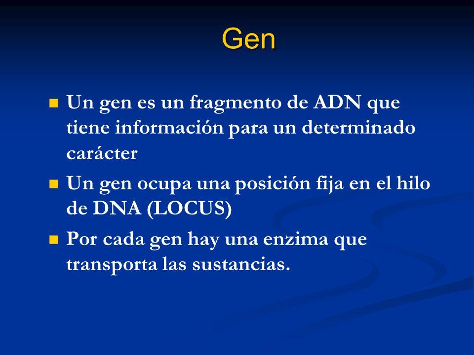 Gen Un gen es un fragmento de ADN que tiene información para un determinado carácter Un gen ocupa una posición fija en el hilo de DNA (LOCUS) Por cada