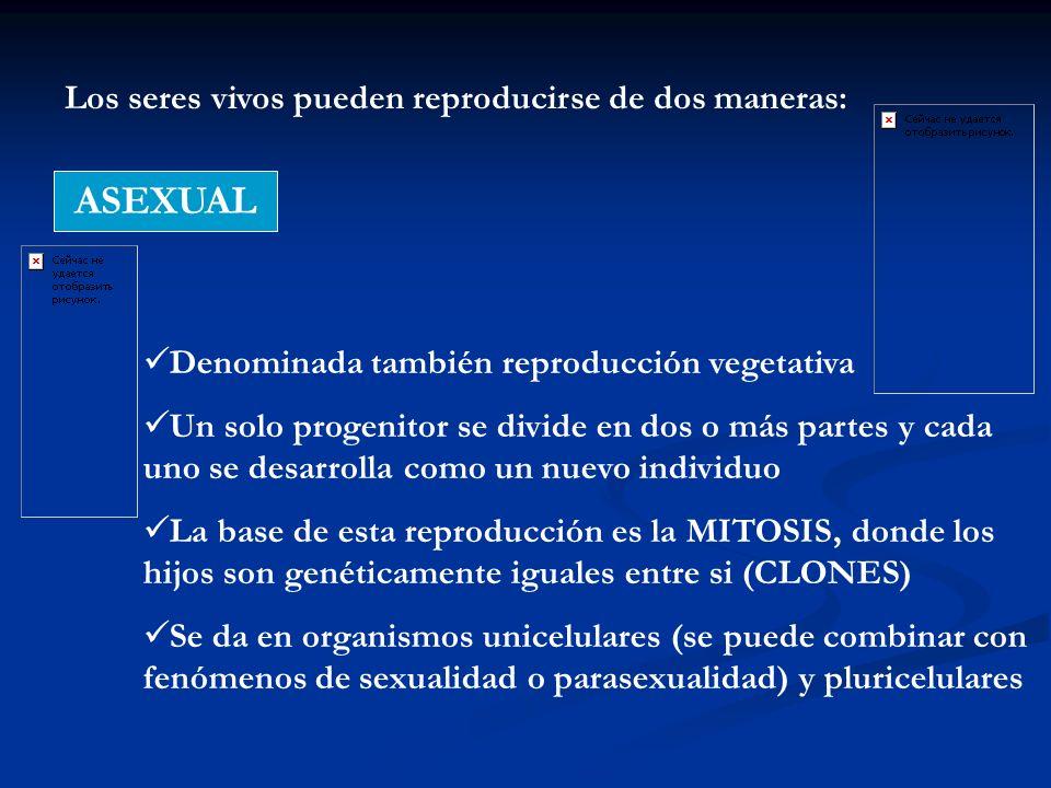 Los seres vivos pueden reproducirse de dos maneras: ASEXUAL Denominada también reproducción vegetativa Un solo progenitor se divide en dos o más parte