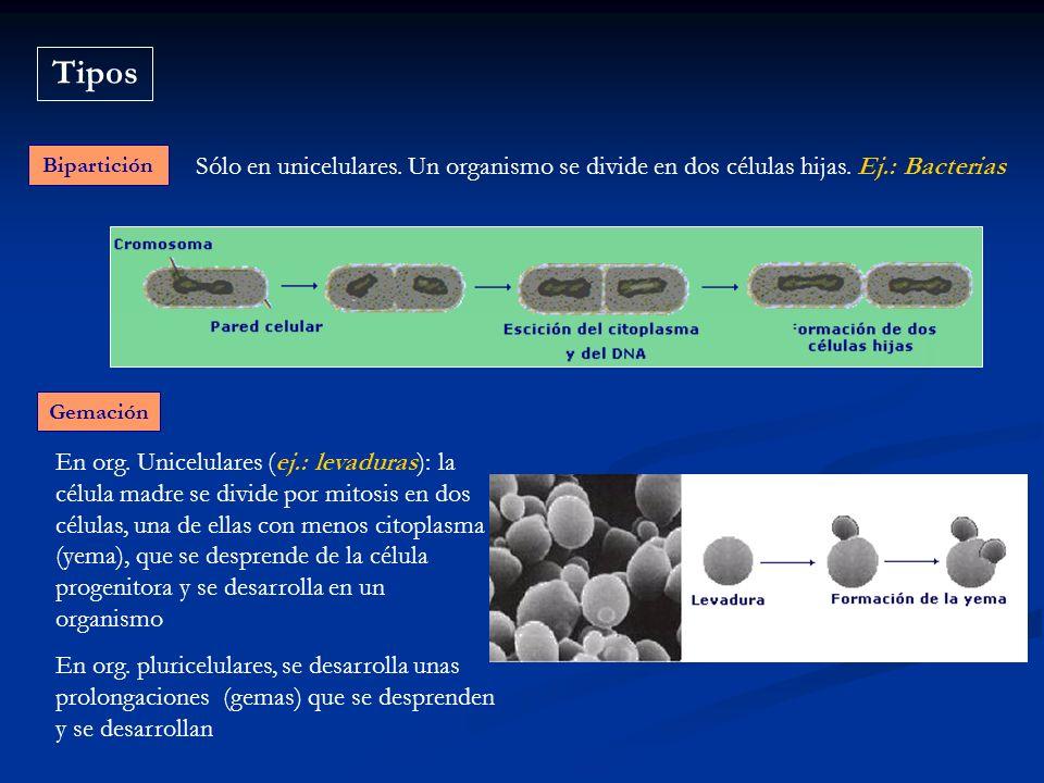 Tipos Bipartición Sólo en unicelulares. Un organismo se divide en dos células hijas. Ej.: Bacterias Gemación En org. Unicelulares (ej.: levaduras): la