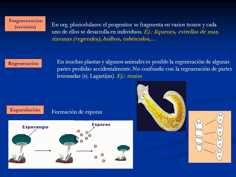 Fragmentación (escisión) Regeneración Esporulación En org. pluricelulares: el progenitor se fragmenta en varios trozos y cada uno de ellos se desarrol