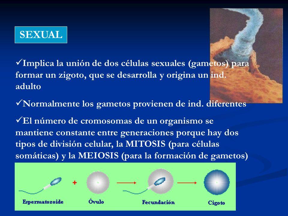 SEXUAL Implica la unión de dos células sexuales (gametos) para formar un zigoto, que se desarrolla y origina un ind. adulto Normalmente los gametos pr