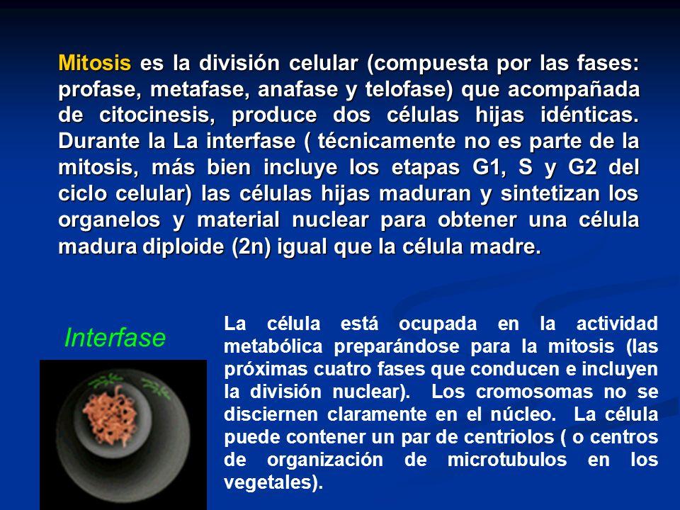 Mitosis es la división celular (compuesta por las fases: profase, metafase, anafase y telofase) que acompañada de citocinesis, produce dos células hijas idénticas.