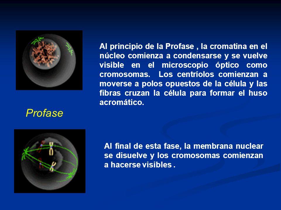 Al principio de la Profase, la cromatina en el núcleo comienza a condensarse y se vuelve visible en el microscopio óptico como cromosomas. Los centrío