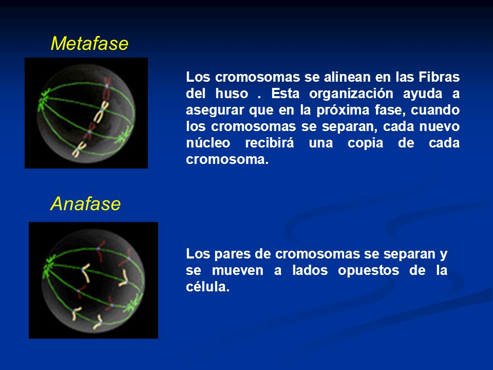Los cromosomas se alinean en las Fibras del huso. Esta organización ayuda a asegurar que en la próxima fase, cuando los cromosomas se separan, cada nu