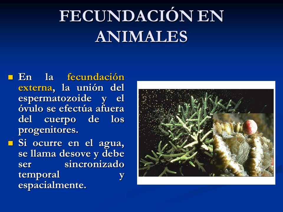 FECUNDACIÓN EN ANIMALES En la fecundación externa, la unión del espermatozoide y el óvulo se efectúa afuera del cuerpo de los progenitores. En la fecu