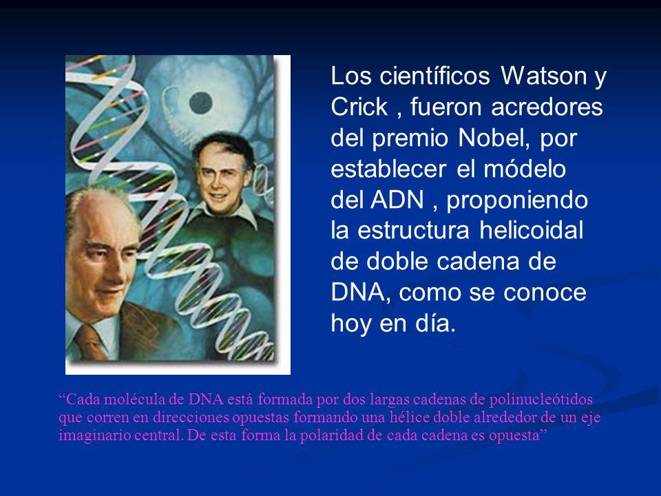 Los científicos Watson y Crick, fueron acredores del premio Nobel, por establecer el módelo del ADN, proponiendo la estructura helicoidal de doble cadena de DNA, como se conoce hoy en día.