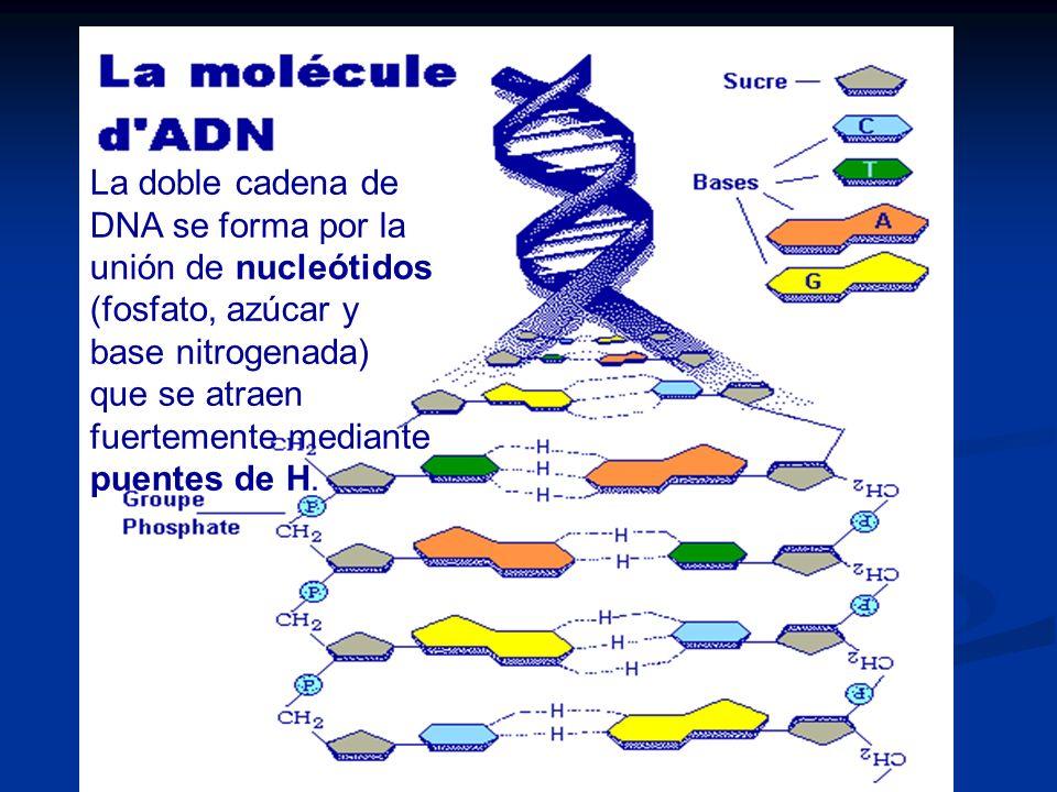 La doble cadena de DNA se forma por la unión de nucleótidos (fosfato, azúcar y base nitrogenada) que se atraen fuertemente mediante puentes de H.