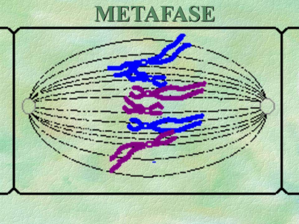 CSe alinean las cromátidas a lo largo del plano ecuatorial de la célula. Recordemos que los cromosomas están formados, cada uno, por dos cromátidas, q