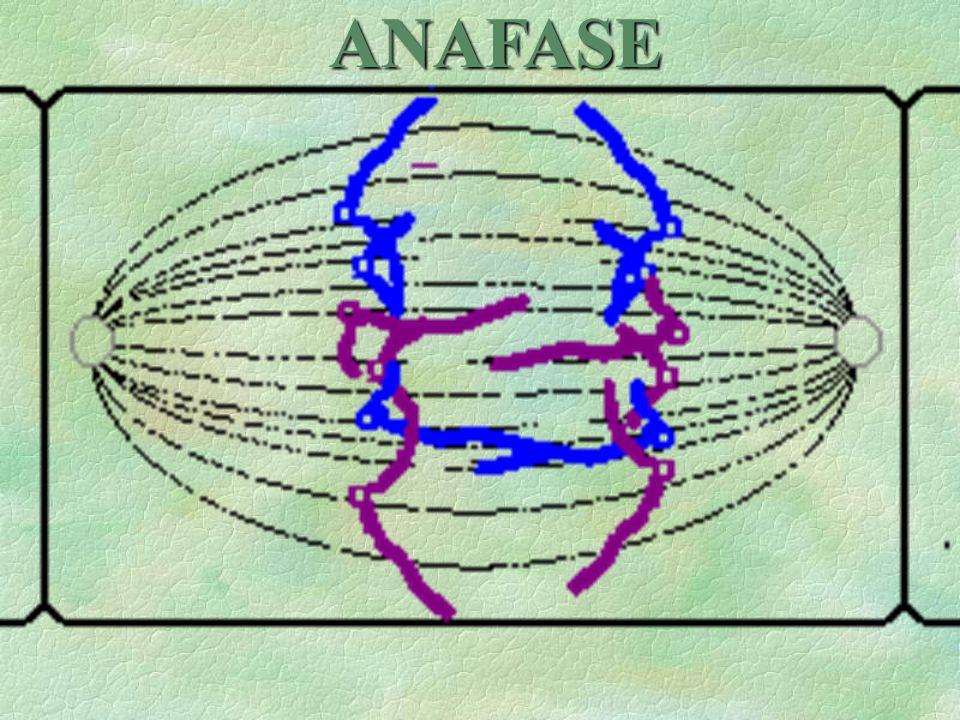 \Se separan de los centrómeros de las cromátidas hermanas de todos los cromosomas. V \Los cromosomas emigran hacia los polos de la célula. Estos toman
