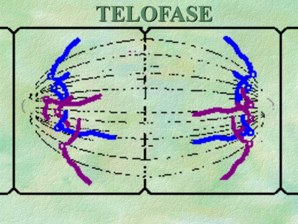 jEtapa final de la mitosis, y se caracteriza por un retorno a las condiciones de interfase. Los cromosomas se alargan al irse desarrollando. Se forma