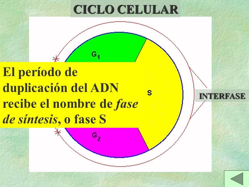 \Se separan de los centrómeros de las cromátidas hermanas de todos los cromosomas.