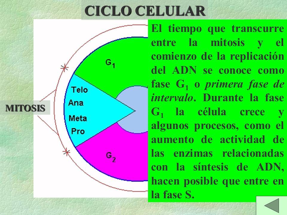 MITOSIS INTERFASE El período de duplicación del ADN recibe el nombre de fase de síntesis, o fase S