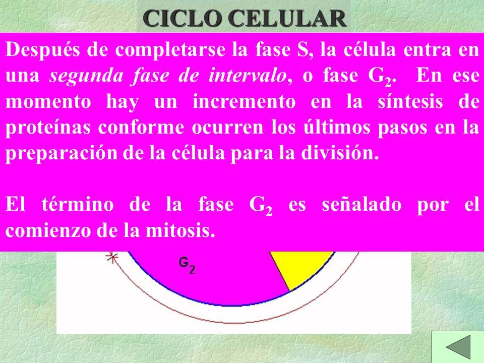 CICLO CELULAR MITOSIS INTERFASE Después de completarse la fase S, la célula entra en una segunda fase de intervalo, o fase G 2.
