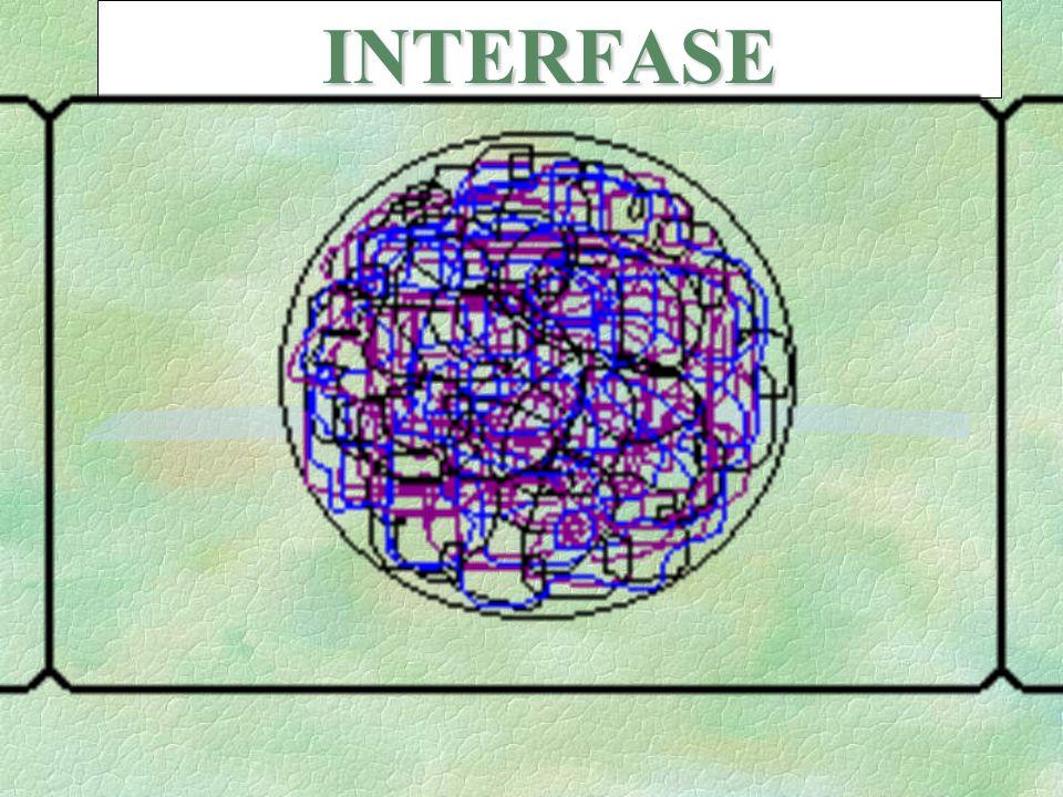 INTERFASE Después de la TELOFASE, se retorna a las condiciones de INTERFASE.