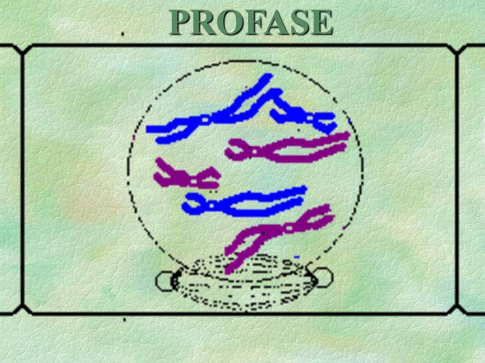 8En la meyosis ocurren 2 divisiones nucleares y celulares, lo que genera 4 células en total.