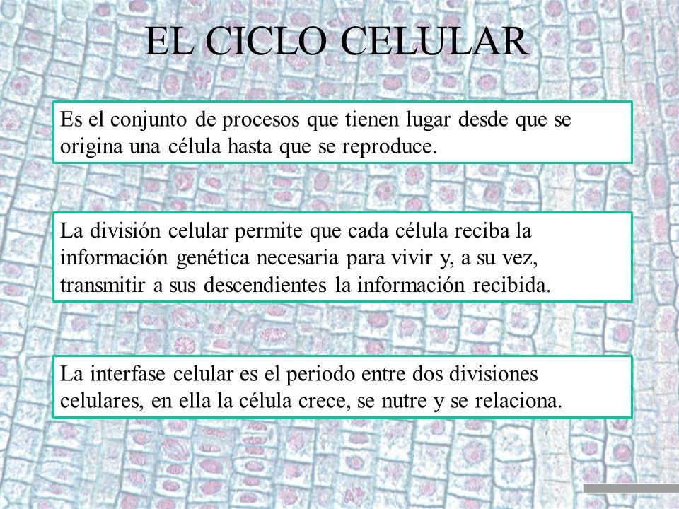 EL CICLO CELULAR Es el conjunto de procesos que tienen lugar desde que se origina una célula hasta que se reproduce. La división celular permite que c