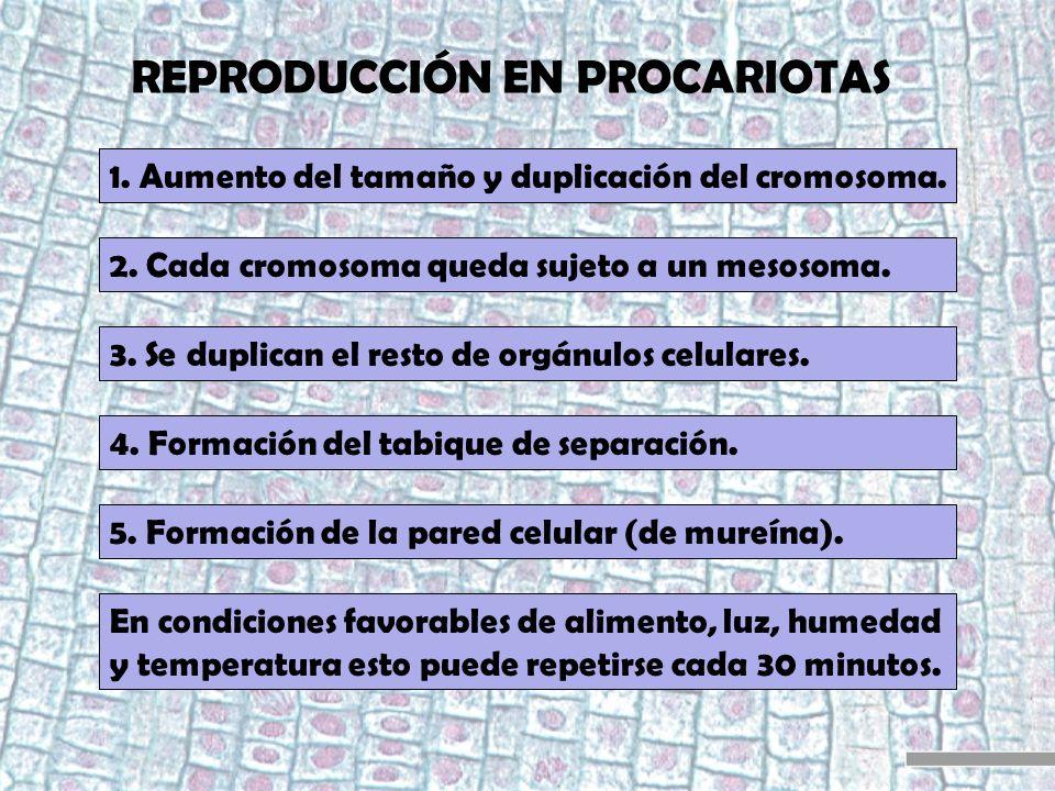 REPRODUCCIÓN EN PROCARIOTAS 1. Aumento del tamaño y duplicación del cromosoma. 2. Cada cromosoma queda sujeto a un mesosoma. 3. Se duplican el resto d