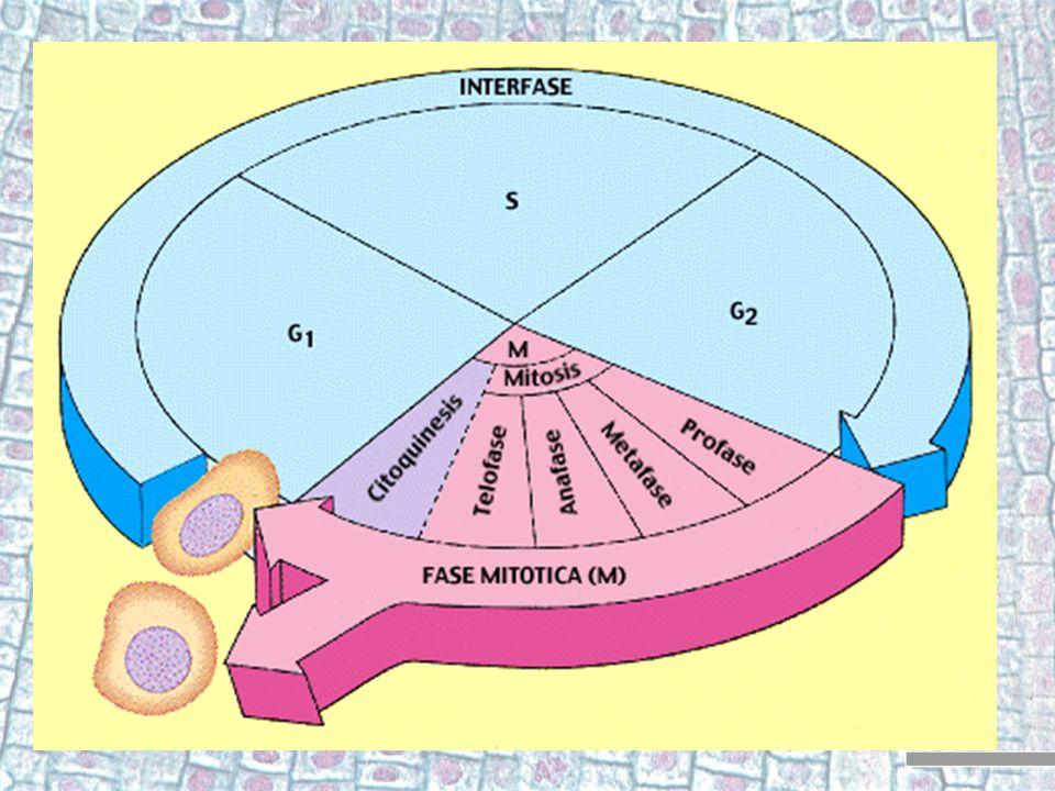 Citocinesis 1 La célula binucleada divide su citoplasma en dos, quedando dos células hijas que van a entrar en la segunda división meiótica.