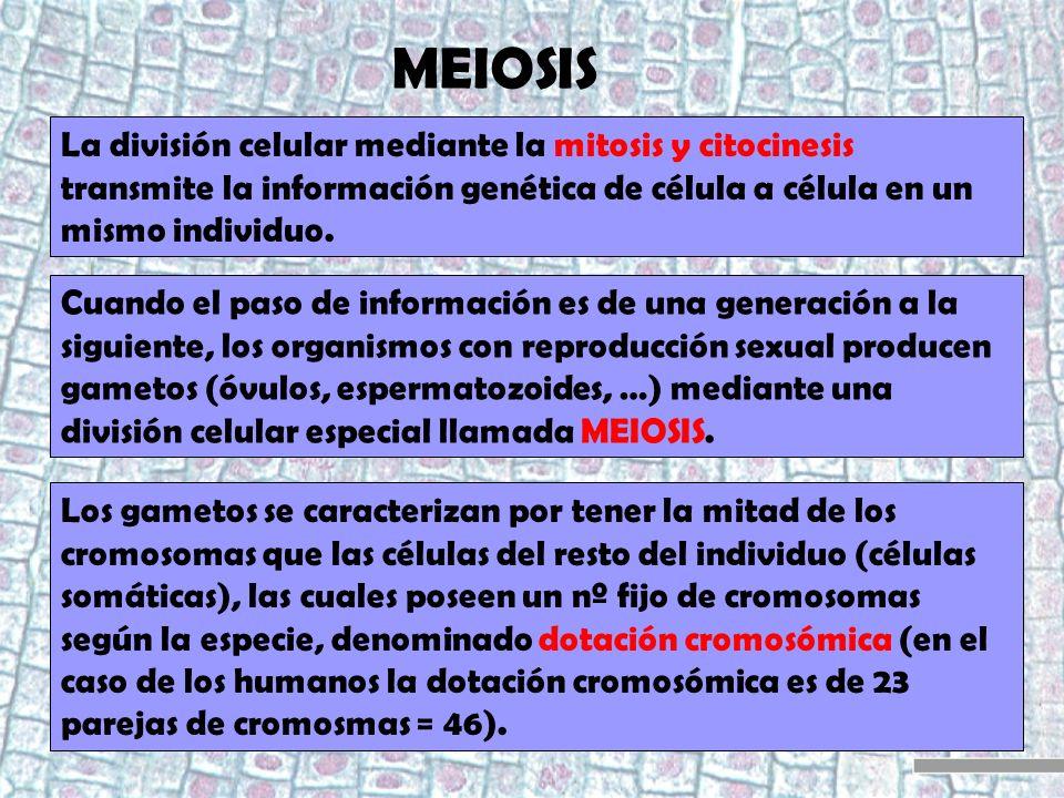 MEIOSIS La división celular mediante la mitosis y citocinesis transmite la información genética de célula a célula en un mismo individuo. Cuando el pa