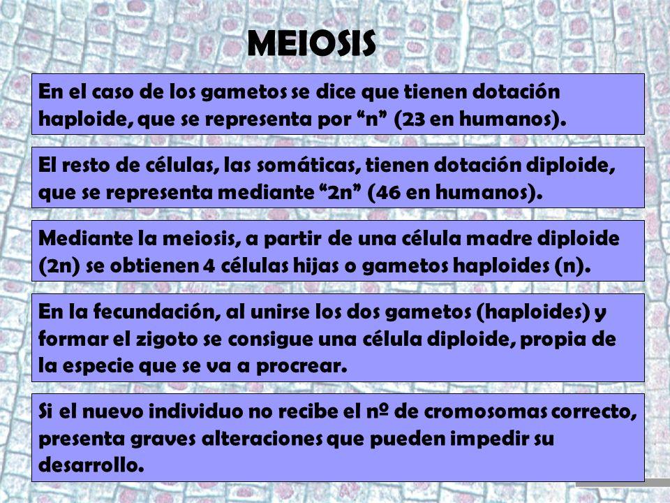 MEIOSIS En el caso de los gametos se dice que tienen dotación haploide, que se representa por n (23 en humanos). El resto de células, las somáticas, t
